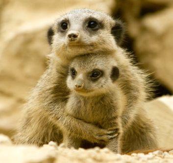 informacion-sobre-la-suricata-1